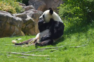 le panda avait faim !